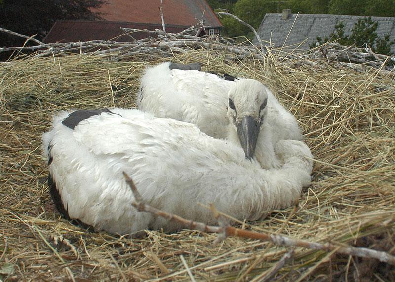 """Storchenküken im Nest. Ein Instinktverhalten lässt sie sich in der Regel """"totstellen"""" - als Schutz gegen Greifvögel."""